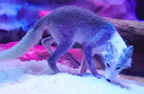 濒临灭绝动物雪狐