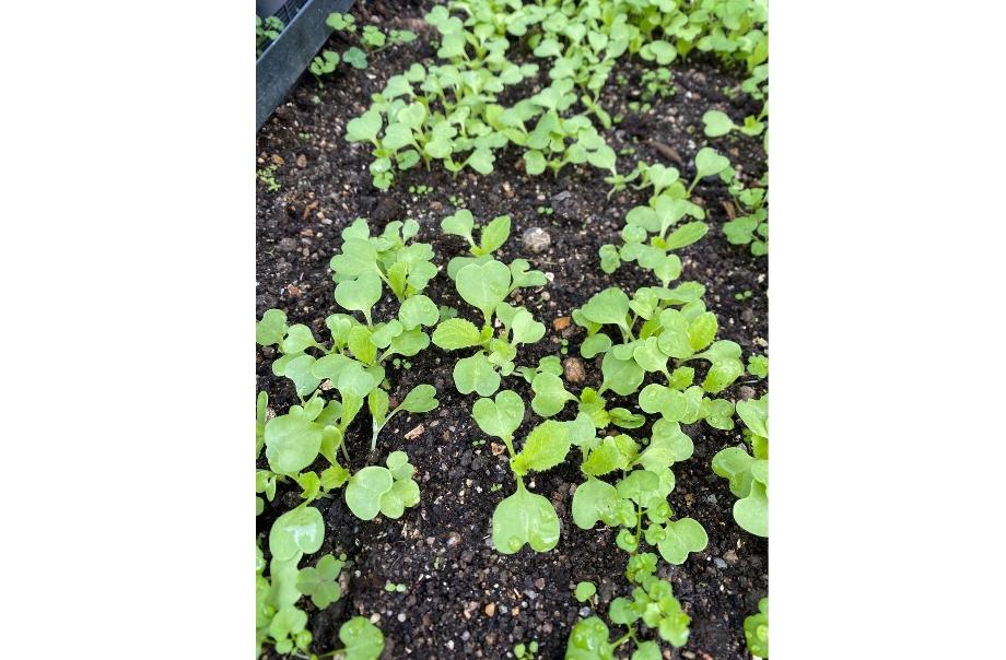 大白菜正在苗圃中培植菜苗。