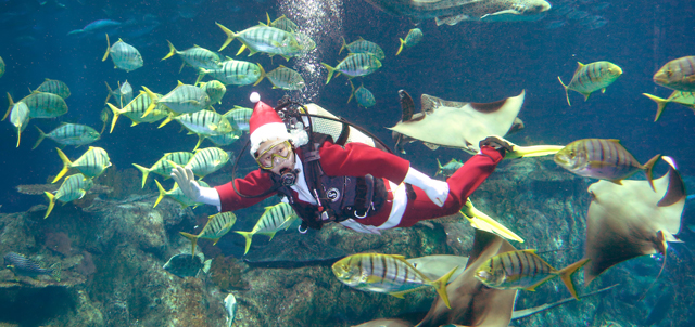 Caption: Saint Nick is spotted diving in the Grand Aquarium, giving both our animal ambassadors and guests a very warm hello.