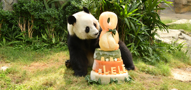Eight-year-old giant pandas Ying Ying and Le Le took delight in specially made icy birthday cakes.