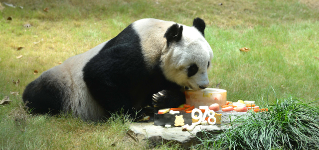 The more mature pair of giant pandas An An and Jia Jia enjoyed nutritious and delectable fruit platters.