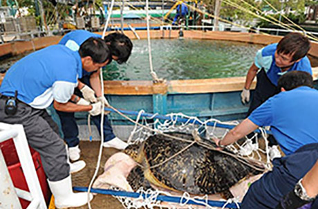 Photo below showed aquarists and the vet team retrieving the green turtle from the convalescing pool in preparation for her journey back to Sai Kung waters.