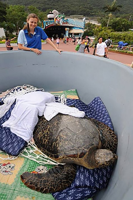 The vet team retrieving the green turtle from the convalescing pool in preparation for her journey back to Sai Kung waters.