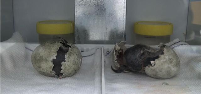 圖一:企鵝寶寶破殼而出的一刻