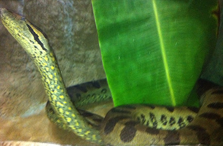 Photo 1: Pregnant female anaconda