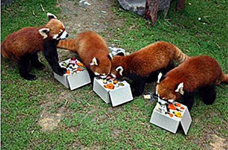 Picture 1: (Left to right: Red pandas Tai Shan, Rou Rou, Li Zi and Cong Cong)