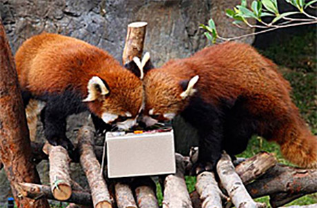 Picture 2: (Left to right: Red pandas Li Zi and Tai Shan)