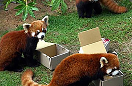 Picture 4: (Top to bottom: Red pandas Rou Rou, Tai Shan and Li Zi )