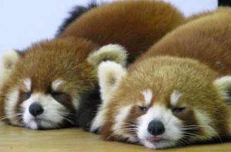 Tai Shan (Right) and Li Zi resting after much food and activity