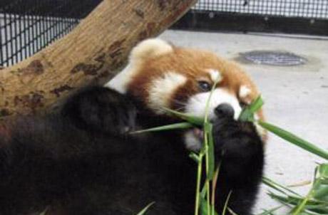 Cong Cong is enjoying his favourite bamboo shoot.