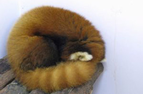 "Red pandas are also known as ""fire foxes."" Here - a red ball of fire. (Rou Rou)"