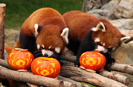 Picture 1: Red Pandas Cong Cong and Tai Shan