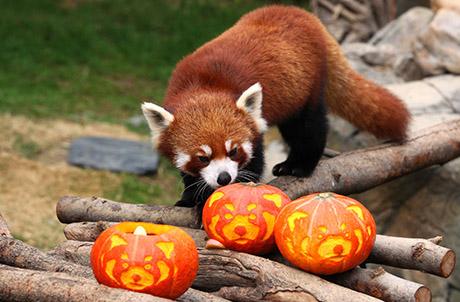 Picture 2: Red Panda Tai Shan