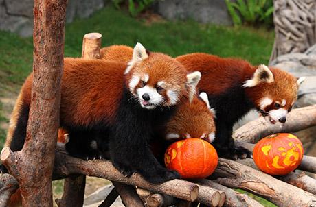Picture 3 (From left): Red Pandas Li Zi, Cong Cong, Tai Shan