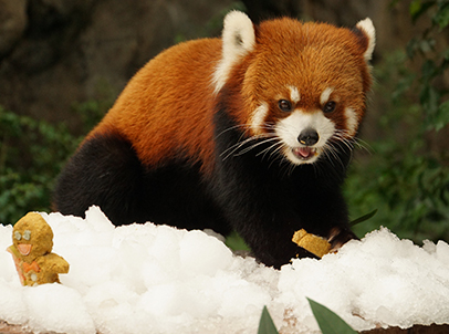 Red panda Cong Cong, who also resides at the same attraction, immerses in the festive atmosphere and wets his appetite as he begins to nibble away at the gingerbread men, specially baked from a concoction of high-fibre biscuits and vegetables by his animal keepers.