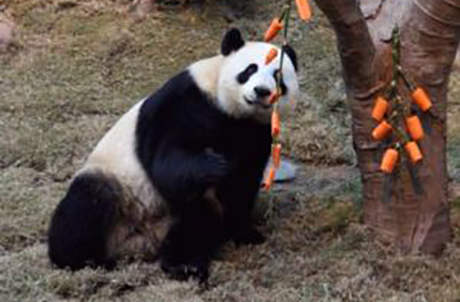 Photo 1: Firecrackers are must-have's to celebrate the Chinese New Year. To help giant panda pair, Ying Ying and Le Le, welcome in The Year of The Ox, they were given their very own firecrackers.