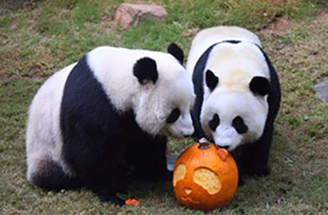 "Giant Pandas Ying Ying and Le Le, with their new found enrichment ""toy,"" reminding everyone that Ocean Park's the place to be for Halloween thrills."