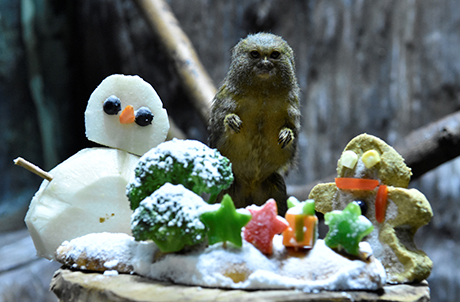 At the Rainforest, a pygmy marmoset enthusiastically awaits to unwrap the presents – a snowman and gingerbread man made with fresh fruit, vegetables and high-fibre biscuits by animal caretakers.