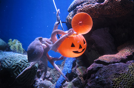 Caption: Le Le enjoying his Halloween feast in Amazing Asian Animals (left) while Octopus (right), one of the smartest invertebrates in the world, demonstrates his pumpkin jar opening skills to enjoy Halloween treats