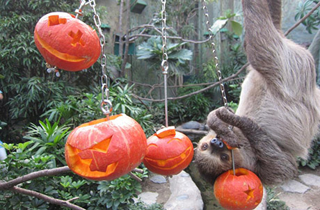 Caption: Wheee! Sloth Sal swinging upside down from one pumpkin to another.