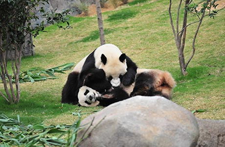 Photo Caption: Starting from today (28 Feb 2012), Ying Ying and Le Le wil be put together for mating opportunities for 3 days, and the Giant Panda Adventure exhibit will be temporarily closed to the public during this period to minimize human disturbance on any mating attempts.