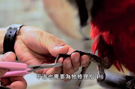 圖二:雀鳥訓練員Jason示範為鸚鵡修理指甲