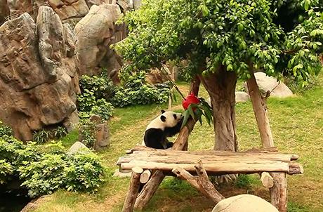 圖三:大熊貓爬到樹上擲下高高掛著的竹子