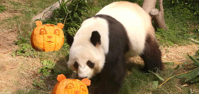 Le Le showed great affection to the pumpkins which were carved in resemblance to his companion, Ying Ying, prepared by the team of famed American pumpkin sculptors led by Ray Vallafane, the Guinness Book World Record holder.