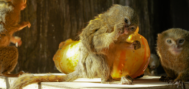 Palm-sized marmosets, the world's smallest primate, enjoyed spooky Halloween treats by getting mealworms out of their pumpkin treasure boxes.