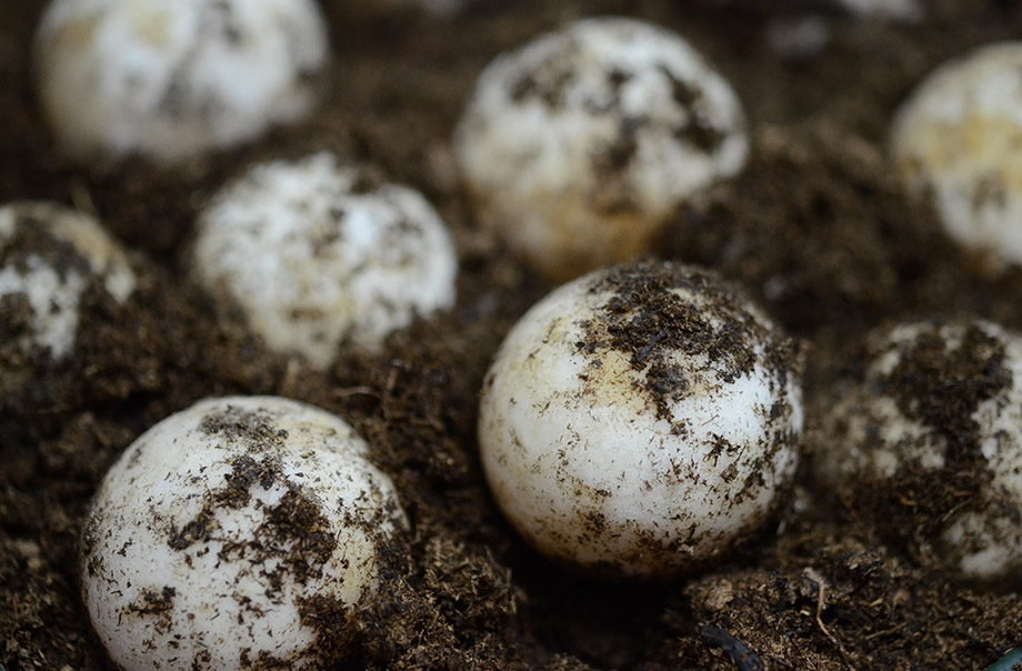 The eggs of yellow-foot tortoise