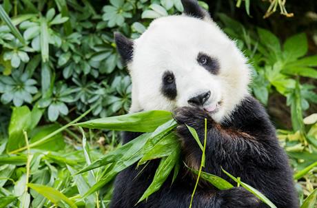Giant Panda Adventure
