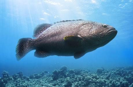 鞍带石斑鱼
