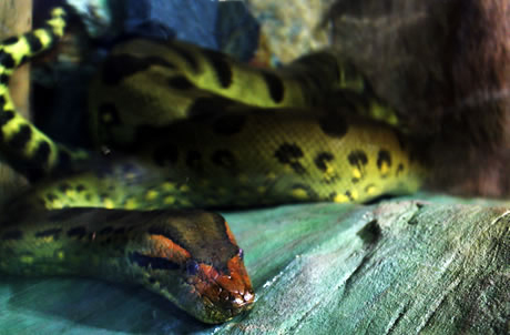 Green Anaconda | Ocean Park Hong Kong