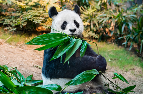 Learn about Breeding of Giant Panda