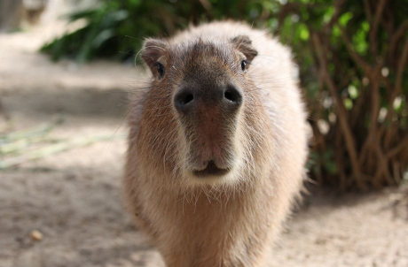 Meet the Capybara & Tamarin