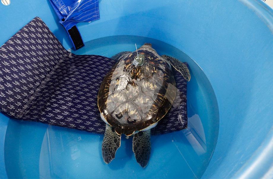 海洋公園保育聯盟 - 綠海龜護理