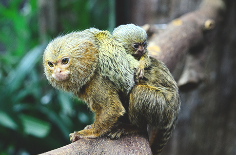 ajab-jankari-ajab-gajab-pygmy-marmoset-पिग्मी मार्मोसेट