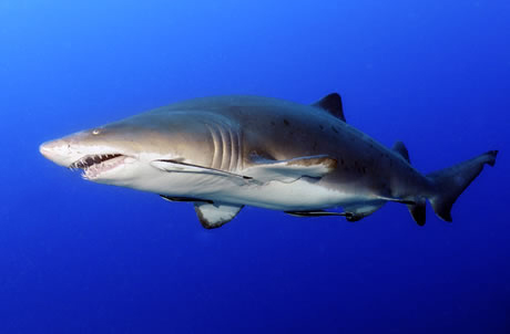 an overview of dogfish sharks The spiny dogfish shark is the most abundant shark this small shark is also known as the piked dogfish, skittledog, spotted dogfish, white-spotted dogfish, codshark, and thorndog its dorsal fin has spines that are mildly poisonous.