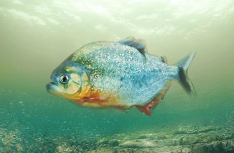 红腹食人鱼