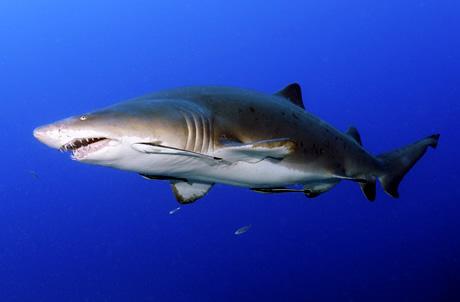 Shark Mystique