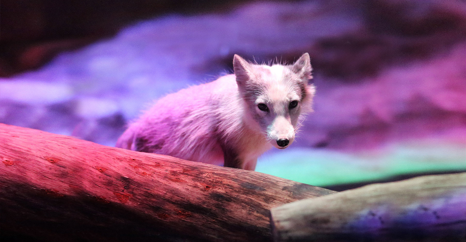 https://media.oceanpark.com.hk/files/s3fs-public/arctic_fox_den_bg01.jpg