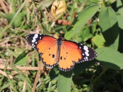 金斑蝶(有毒)