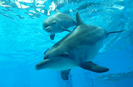 Artificial Insemination of Indo-Pacific Bottlenose Dolphins