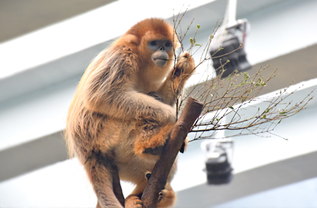 Sichuan Golden Snub-nosed Monkey