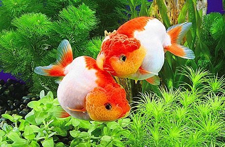 Goldfish Treasures