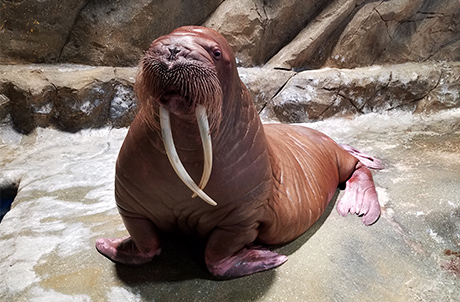 meet-the-walrus-thumbnail