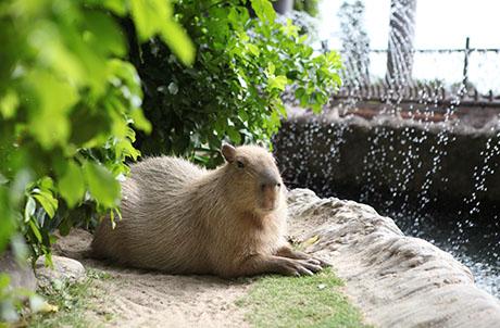 """SmartFun Exclusive Preview: New """"Meet the Capybara & Tamarin"""" Programme"""