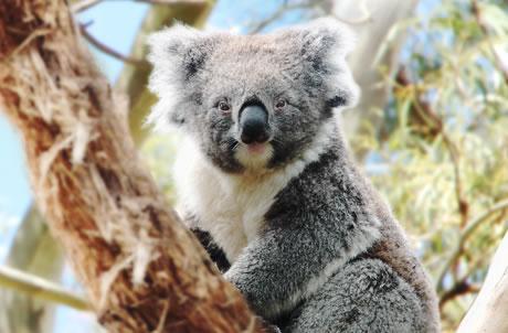 南澳州树熊