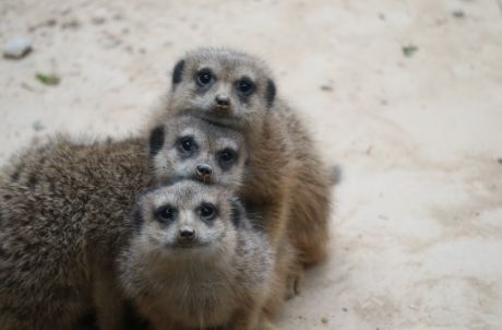 New Animal Exhibit: Little Meerkat and Giant Tortoise Adventure