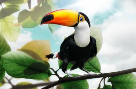 托哥巨嘴鸟